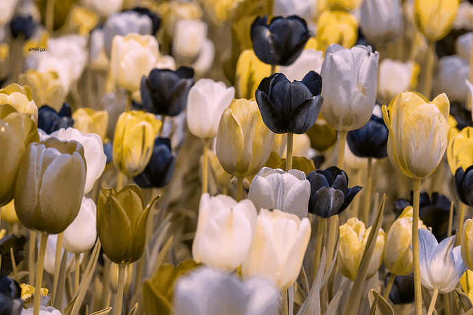 Tulip_deuteranopia