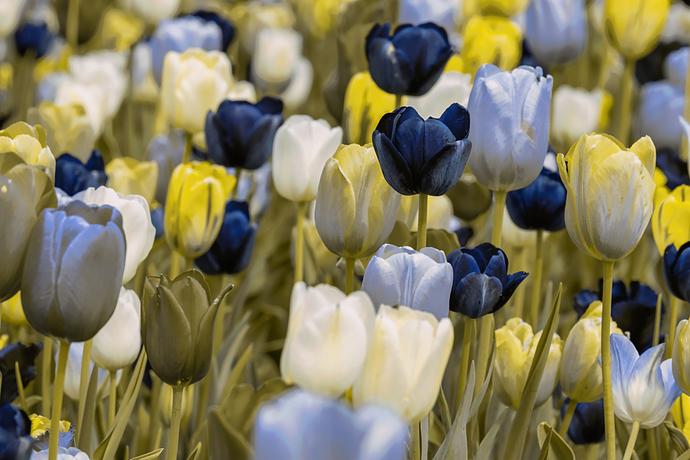 Tulip_Protanopia